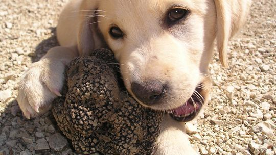 truffles hunting dogs Truffles picking experience tour in Le Marche Italy